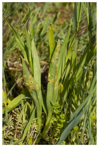 foto's, Rietgrasroest (Puccinia sessilis), roest op rietorchis (Dactylorhiza praetermissa)
