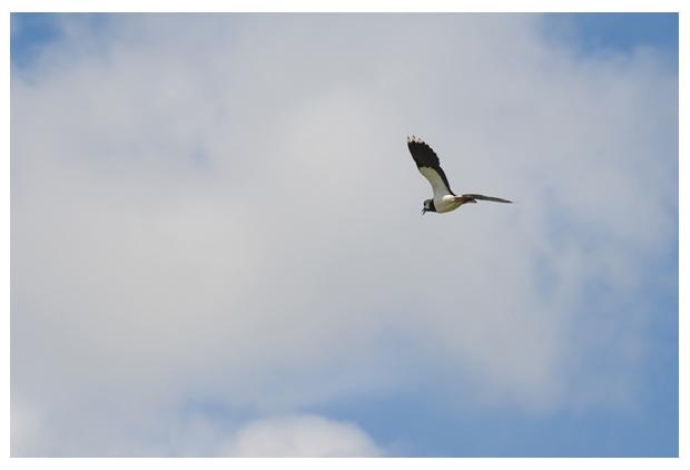 foto's, Kievit (Vanellus vanellus), vogel