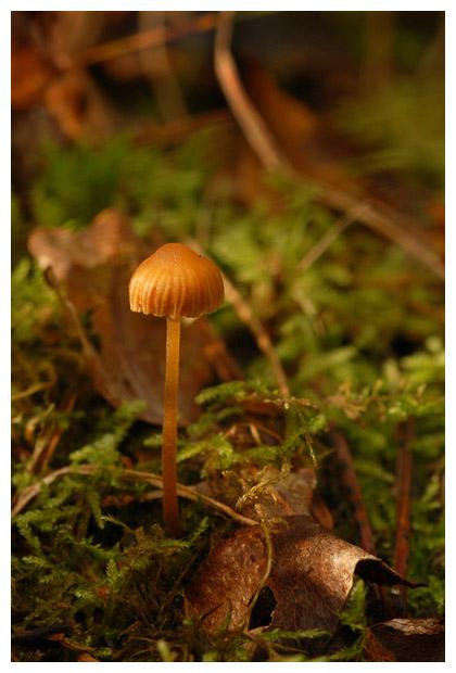 geelbruin mosklokje (galerina hypnorum), saprofiet (saprotroof)