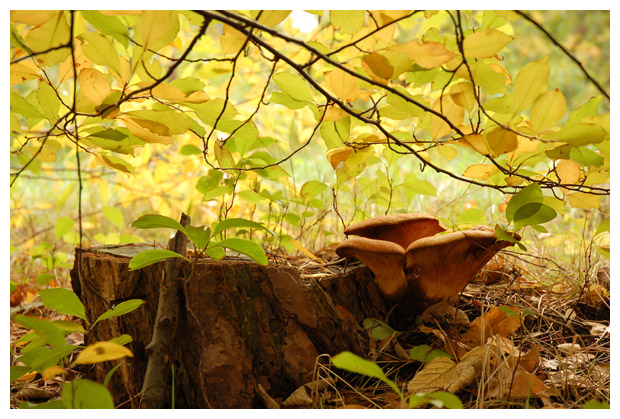foto´s, Zwartvoetkrulzoom (Paxillus atrotomentosus), paddenstoel