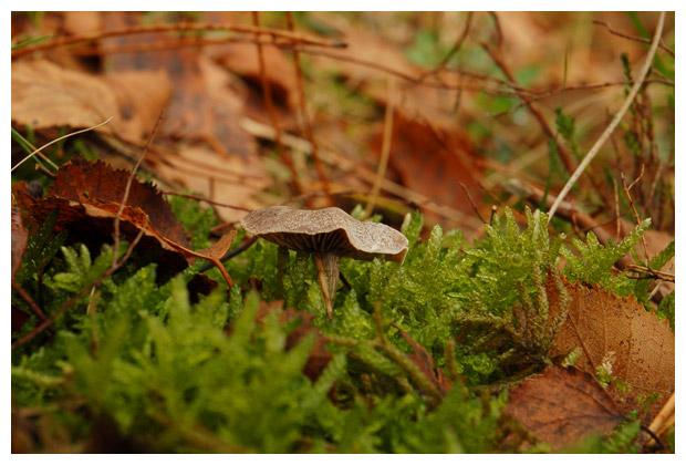 foto's, Witschubbige gordijnzwam (Cortinarius hemitrichus), paddenstoel