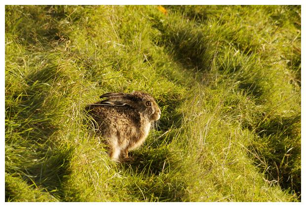foto's, Haas (Lepus europaeus), dier