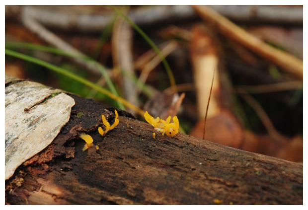 foto´s, Geel hoorntje (Calocera cornea), paddenstoel