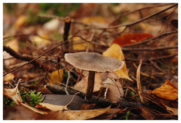foto, Witschubbige gordijnzwam (Cortinarius hemitrichus), paddenstoel