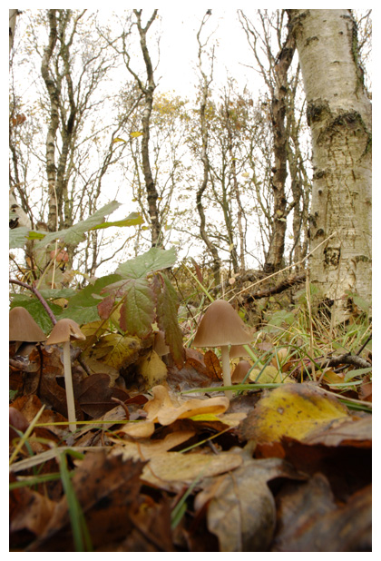 foto, Langsteelfranjehoed (Psathyrella conopilus), paddenstoel