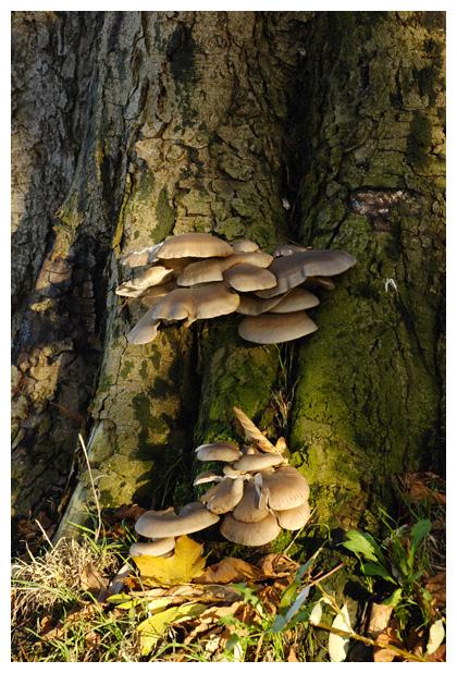 foto, Gewone oesterzwam (Pleurotus ostreatus), paddenstoel