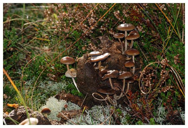 foto´s, Slijmrandkaalkopje (Psilocybe liniformans), paddenstoel