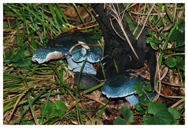 foto's, Echte kopergroenzwam (Stropharia aeruginosa), paddenstoel