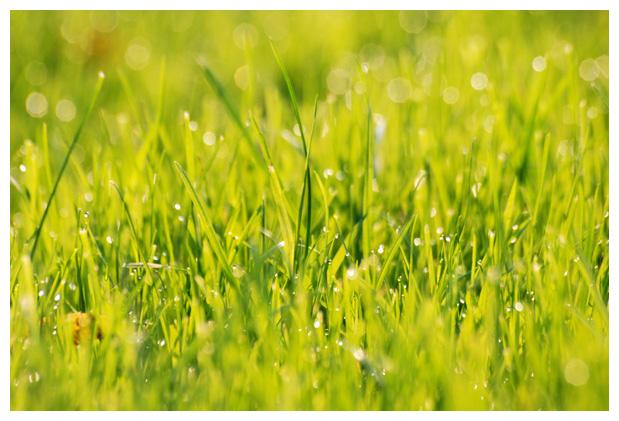 foto´s, Gewoon struisgras (Agrostis capillaris, tenuis), gras
