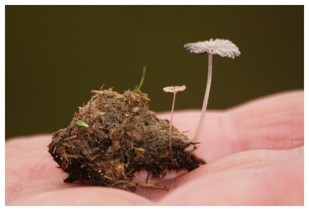 foto´s, Klein mestplooirokje (Coprinus miser), paddenstoel