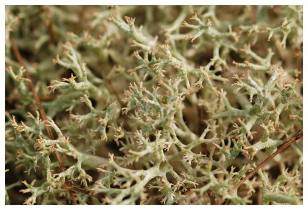 foto´s, Open rendiermos (Cladina portentosa), korstmos