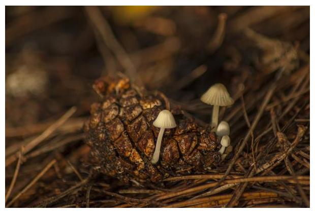 foto's, Muizenstaartzwam (Baeospora myosura), paddenstoel op dennenappel