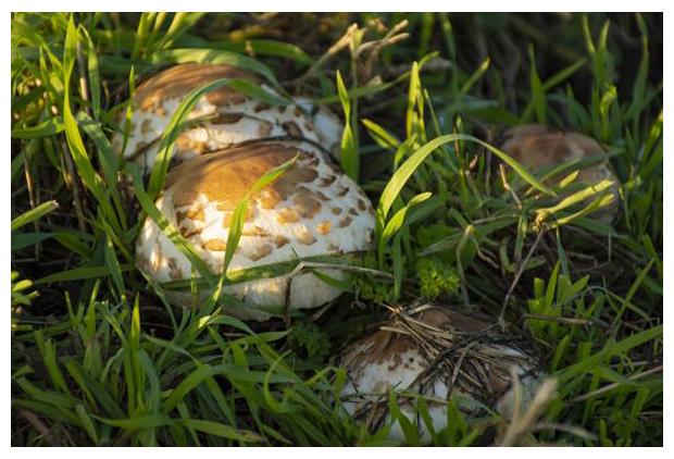 foto's, Gewone knolparasolzwam (Chlorophyllum rhacodes), paddenstoel