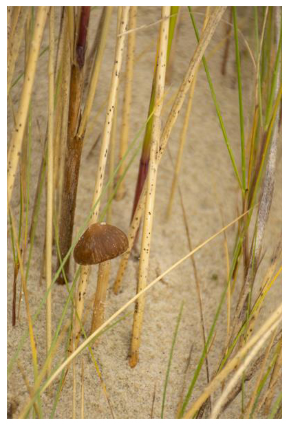foto´s, Duinfranjehoed (Psathyrella ammophila), paddenstoel duinen