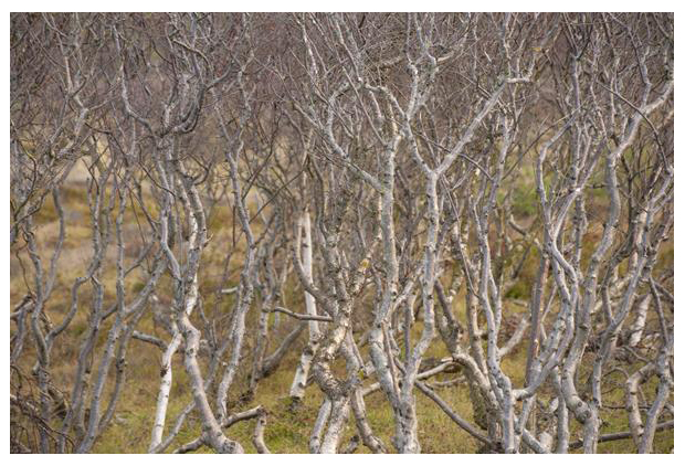 foto´s, Ruwe berk (Betula pendula, synoniem: verucosa), boom duinen
