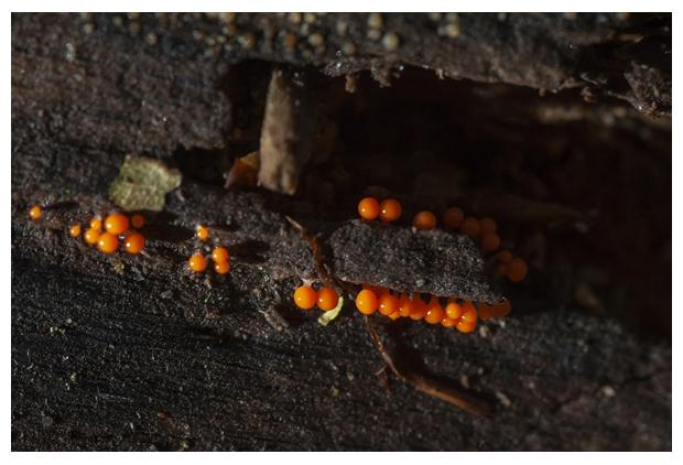 foto's, Peervormig draadwatje (Trichia decipiens), paddenstoel