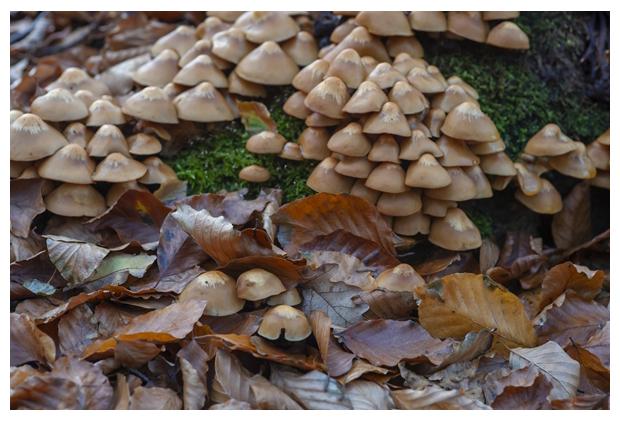 foto's, Stobbenzwammetje (Kuehneromyces mutabilis), paddenstoel