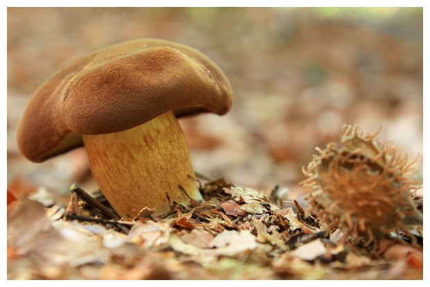 foto´s, Peperboleet (Chalciporus piperatus), paddenstoel