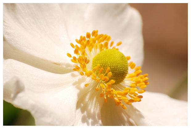 foto's, Herfst, Japanse of Chineese anemoon (Anemone hybrida)