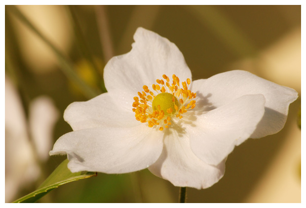 foto's, Herfst anemoon, plant