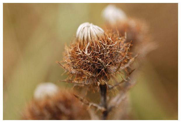 foto´s, Driedistel (Carlina vulgaris)