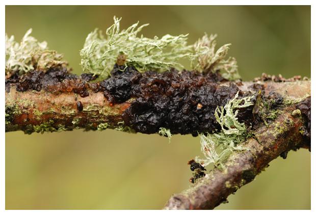 foto's, Zwarte trilzwam (Exidia plana), paddenstoel