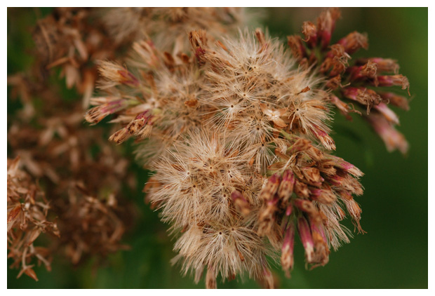 foto's, Leverkruid of koninginnenkruid (Eupatorium cannabinum), plant