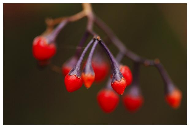 foto´s, Bitterzoet (Solanum dulcamara)