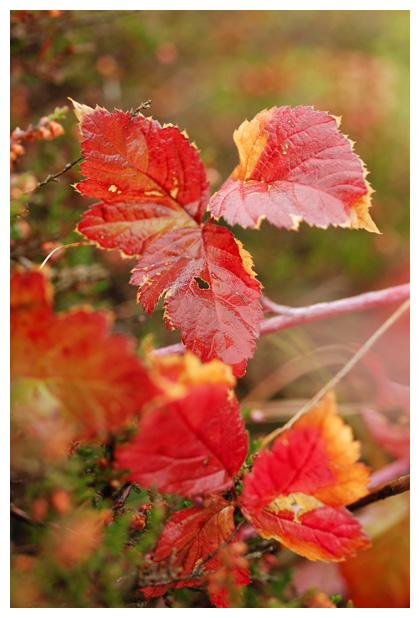 foto's, Gewone braam of bosbraam (rubus fruticosus), plant