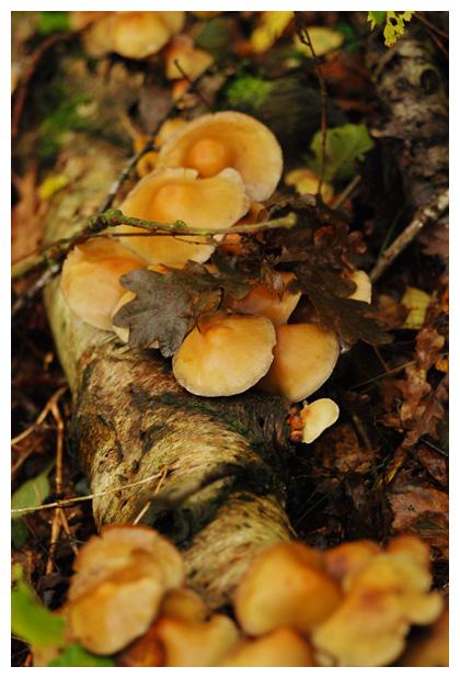 foto's, Gewone zwavelkop (Hypholoma fasciculare), paddenstoel