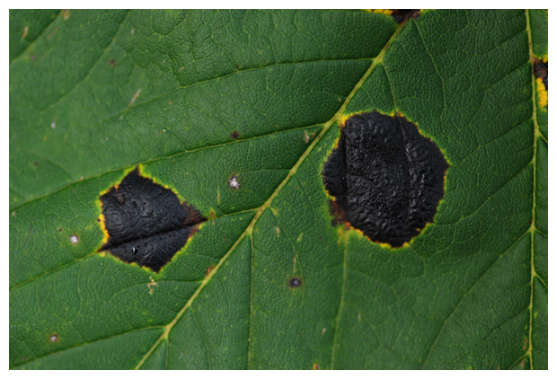 foto's, Inktvlekkenzwam (Rhytisma acerinum), zwam