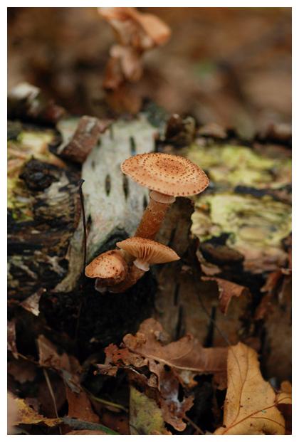 foto´s, Sombere honingzwam (Armillaria ostoyae), paddenstoel
