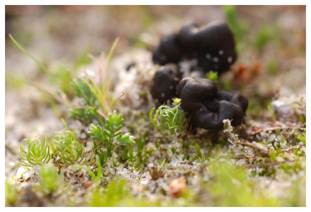 foto´s, Zandaardtong (Geoglossum arenarium), paddenstoel