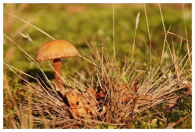 foto's, Gewone fopzwam (Laccaria laccata), paddenstoel