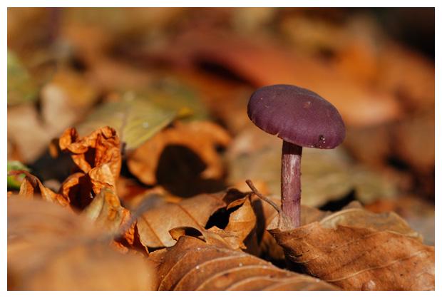 foto's, Amethistzwam of rodekoolzwam (Laccaria amethystina), paddenstoel