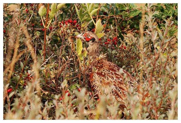foto's, Fazant (Phasianus colchicus), vogel