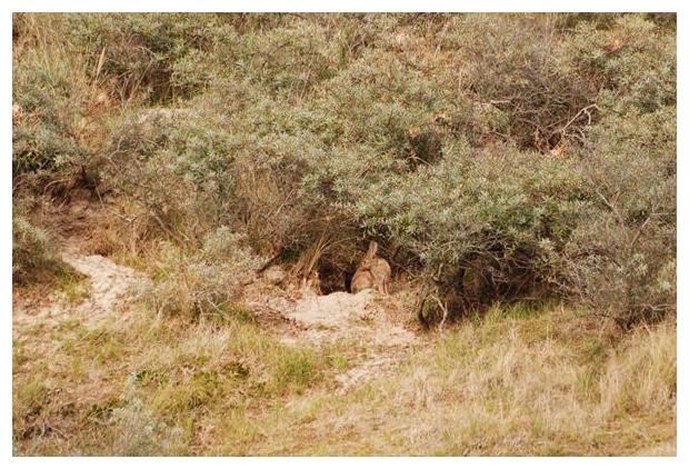 foto's, Konijn (Oryctolagus cuniculus)