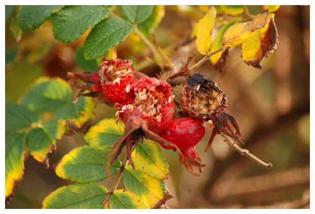 foto's, Rimpelroos (Rosa rugosa), heester