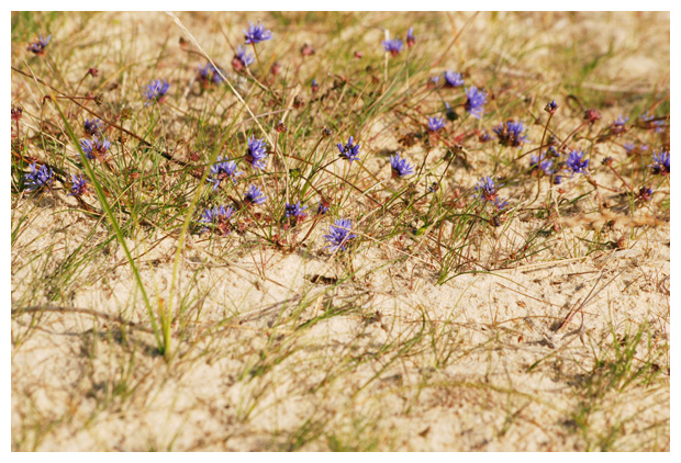 foto's, Zandblauwtje (Jasione montana), plant