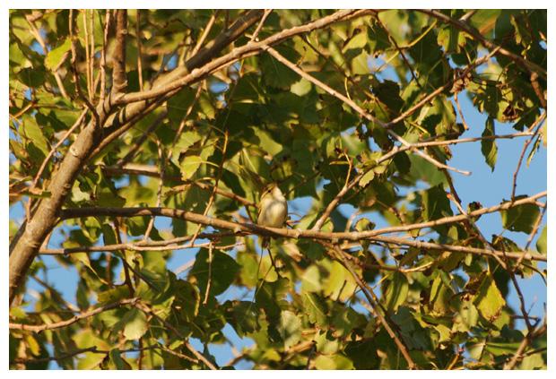 foto's, Bladkoning (Phylloscopus inornatus)