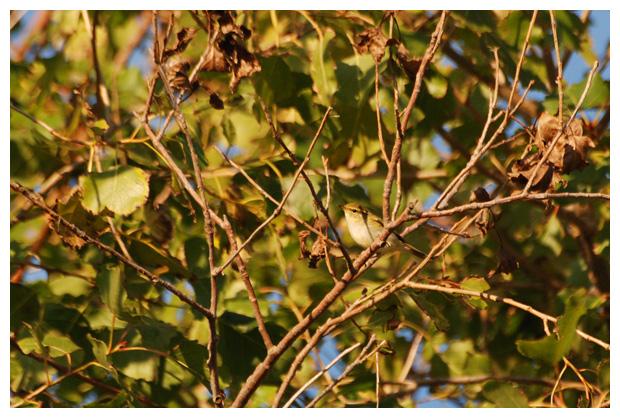 foto's, Bladkoning (Phylloscopus inornatus), vogel