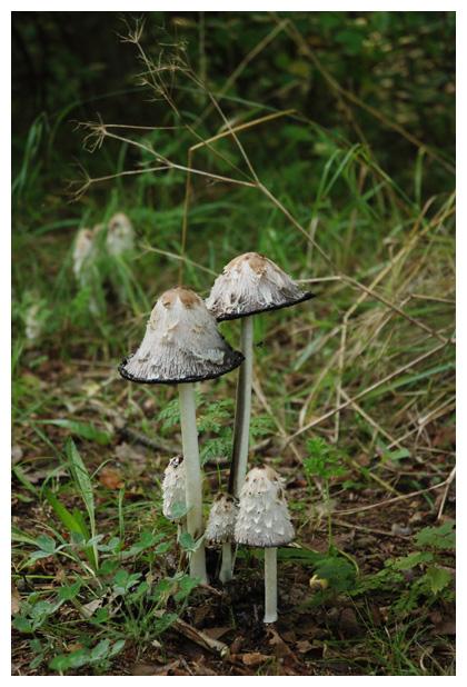foto, Geschubde inktzwam (Coprinus comatus), paddenstoel