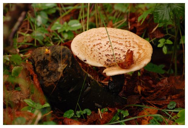 foto Zadelzwam (Polyporus squamosus), paddenstoel