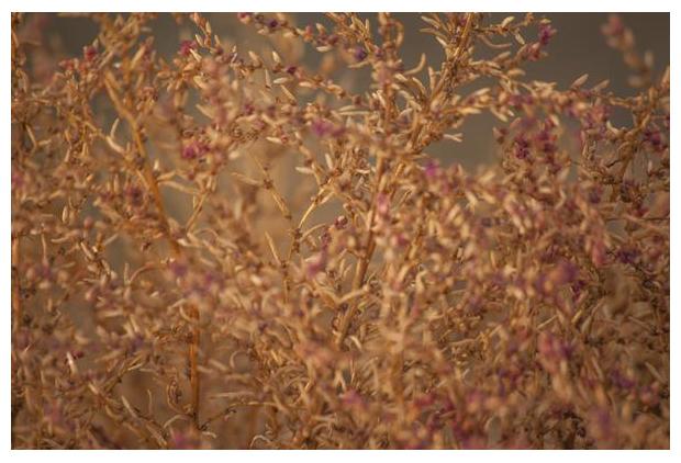 foto´s, Klein schorrenkruid (Suaeda maritima), kwelderplant