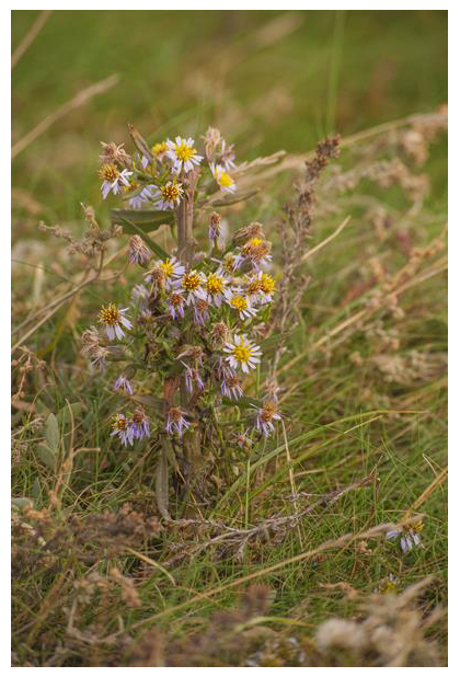 foto´s, Zulte, zeeaster (Aster tripolium), strand plant