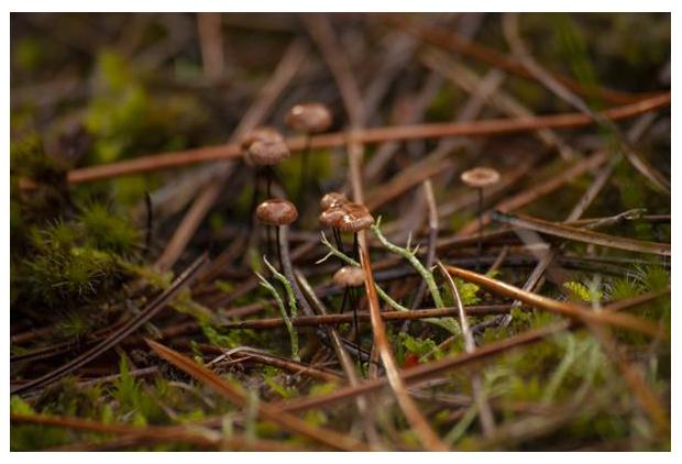 foto's, Paardenhaartaailing (Gymnopus androsaceus), paddenstoel