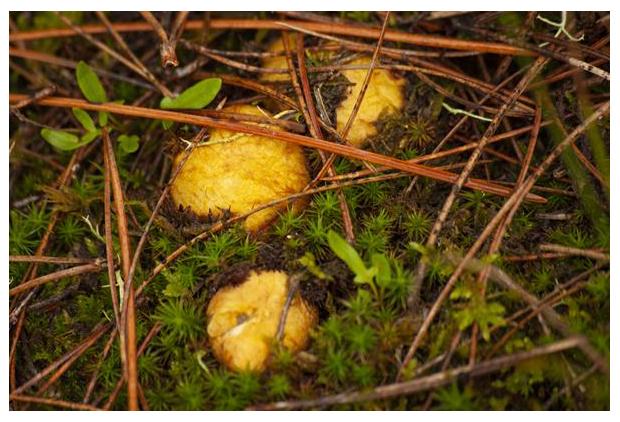 foto's, Okerkleurige vezeltruffel (Rhizopogon luteolus), paddenstoel