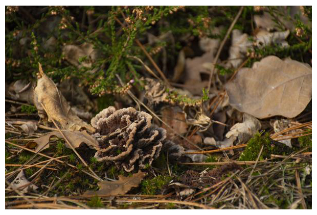 foto, Gewone franjezwam (Thelephora terrestris), paddenstoel