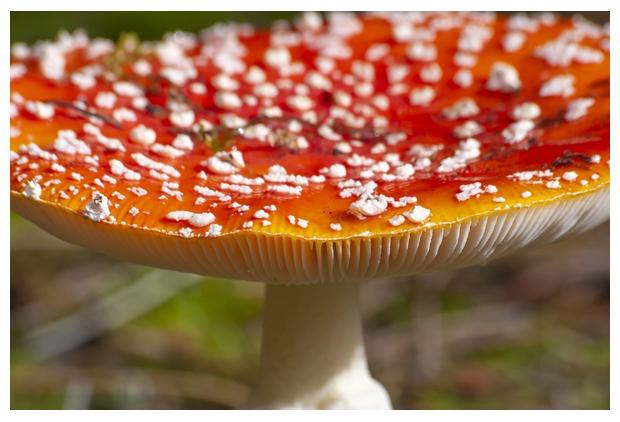 foto, Vliegenzwam (Amanita muscaria), paddenstoel