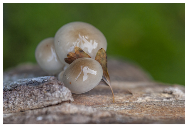 foto´s, Porseleinzwam (Oudemansiella mucida), paddenstoel